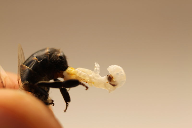 Who Knew: A Bee has a Huge Penis